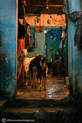 Goat, Indian home, late at night