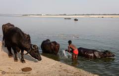 cattle, river, Varanasi, India, washing