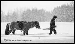 Horse, snow, man, snow blizzard