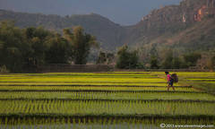 worker in Rice field, North Vietnam countryside