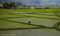 Rice field, Mai Chau valley, North Vietnam
