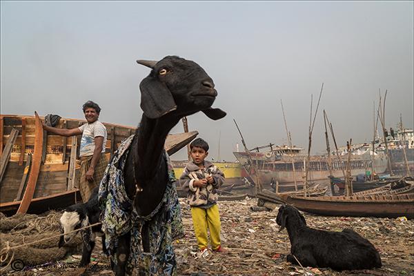 Shipyard, Bangladesh, goat, photo