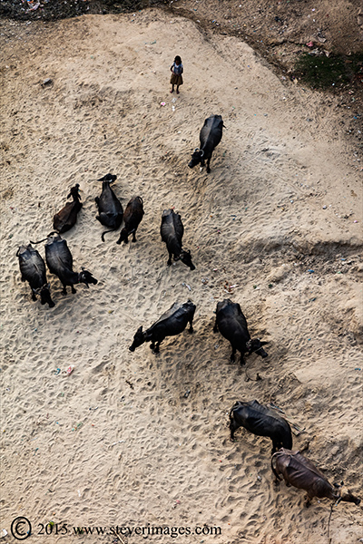 overhead image of child herding cattle together on the banks of the Ganges, Varanasi, India. , photo