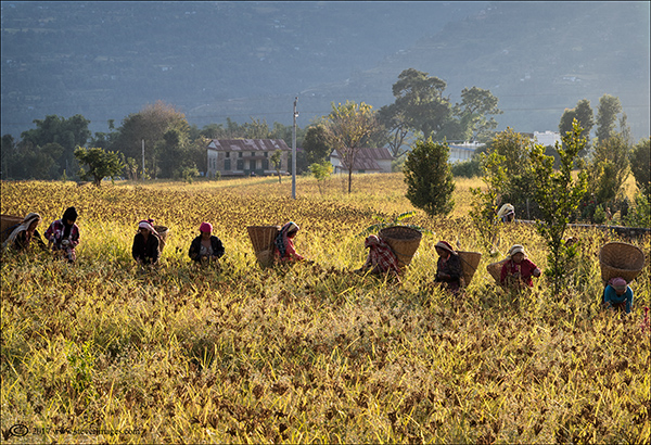Woman in Nepal gathering in harvest, photo