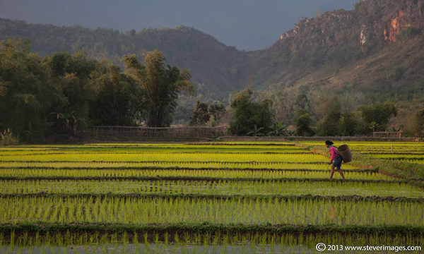 worker in Rice field, North Vietnam countryside, photo